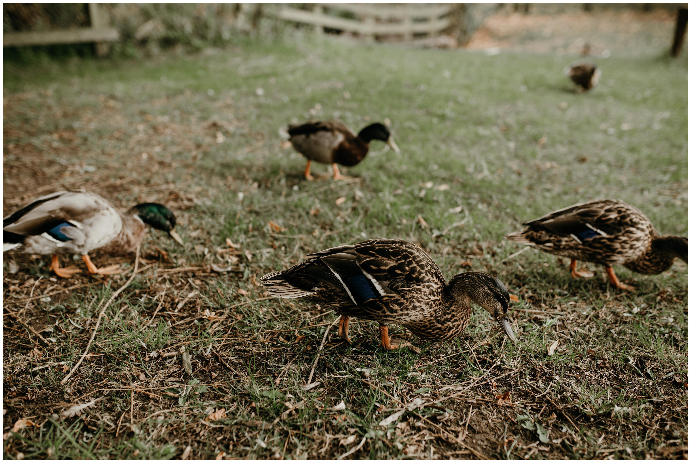 ducks at poppleton tithe barn york england